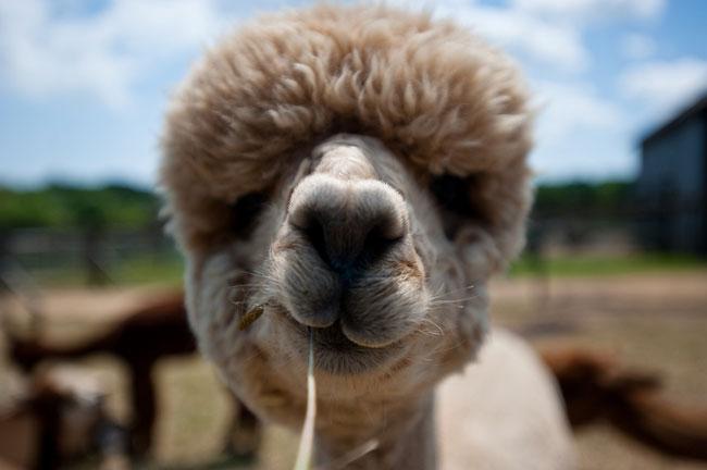 http://www.sunnyskyz.com/uploads/2014/03/k572u-alpaca-hair20.jpg