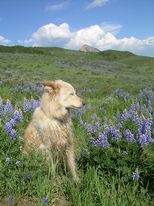 dog in fields of flowers