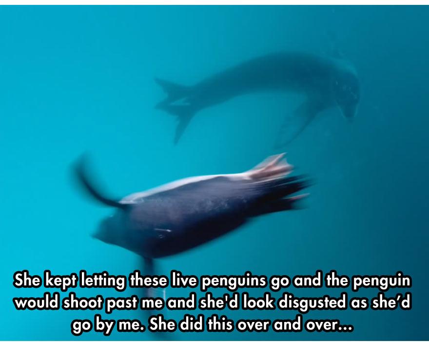 leopard seal diver