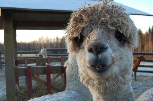 http://www.sunnyskyz.com/uploads/2014/03/o8okl-alpaca-hair10.jpg