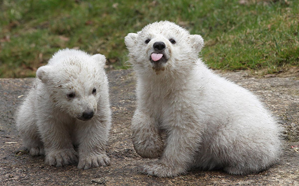 polar bear cubs in Germany