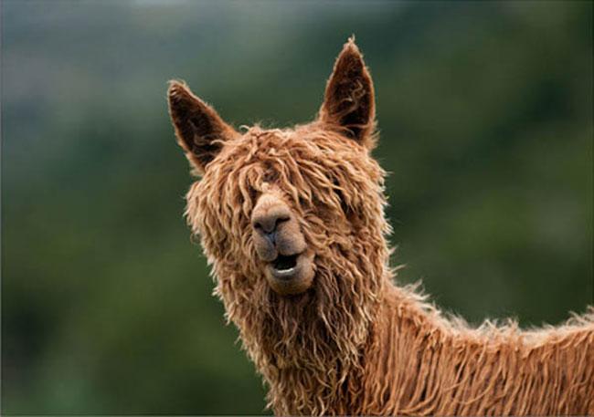 http://www.sunnyskyz.com/uploads/2014/03/pioij-alpaca-hair8.jpg