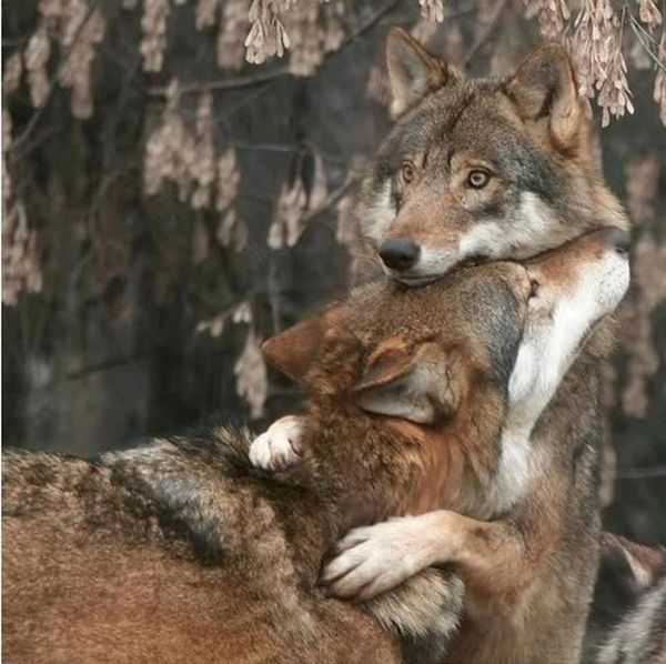wolves hugging