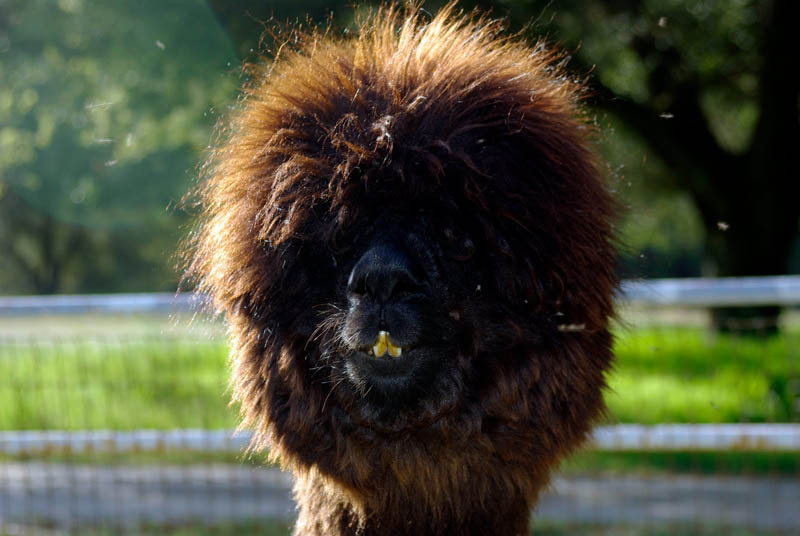 The 21 Sexiest Alpacas On The Planet I Had No Idea They
