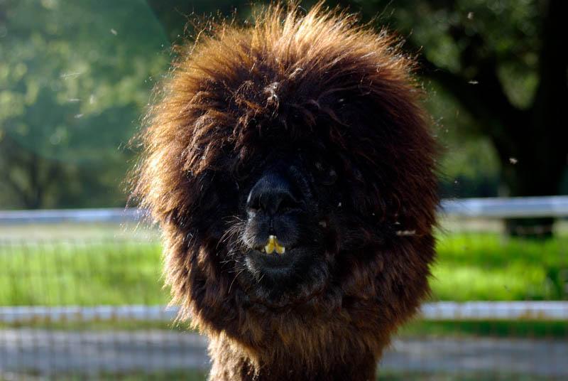 http://www.sunnyskyz.com/uploads/2014/03/y4mzf-alpaca-hair21.jpg