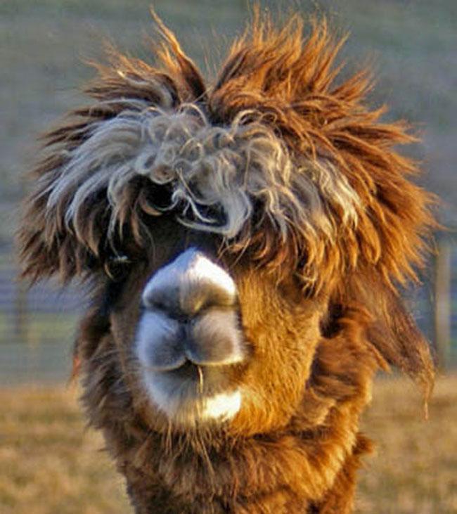 http://www.sunnyskyz.com/uploads/2014/03/ysgz7-alpaca-hair5.jpg