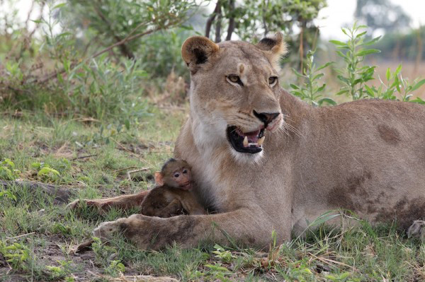 lion kills baboon