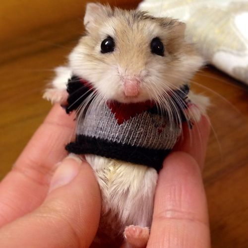 hamster in a sweater