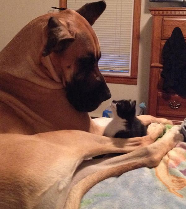 dog looking at kitten