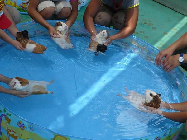 guinea pigs swimming
