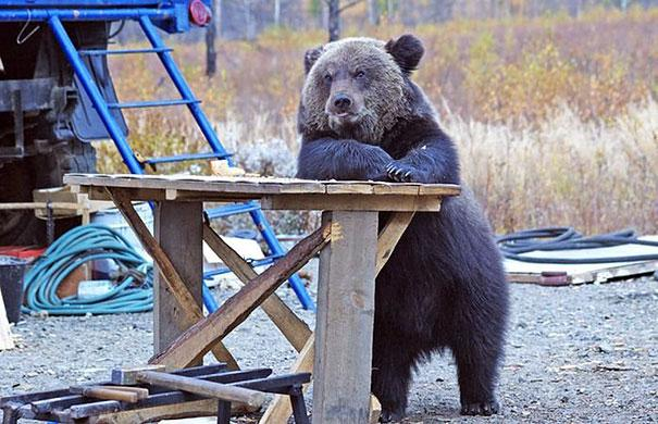 bear waiting for beer