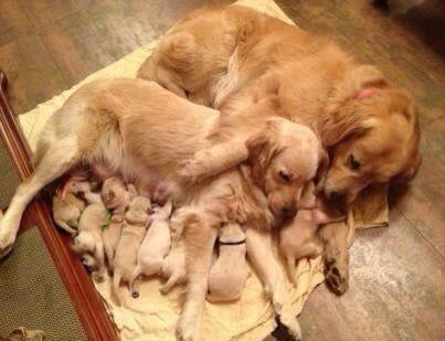 mom and dad snuggle with puppies