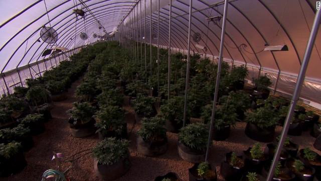 marijuana charlottes web