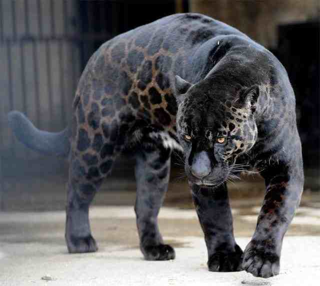 majestic blue jaguar