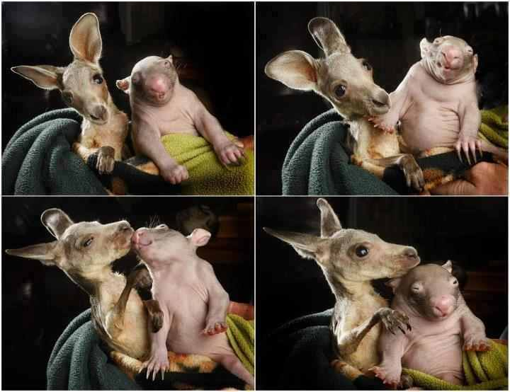 baby kangaroo and wombat