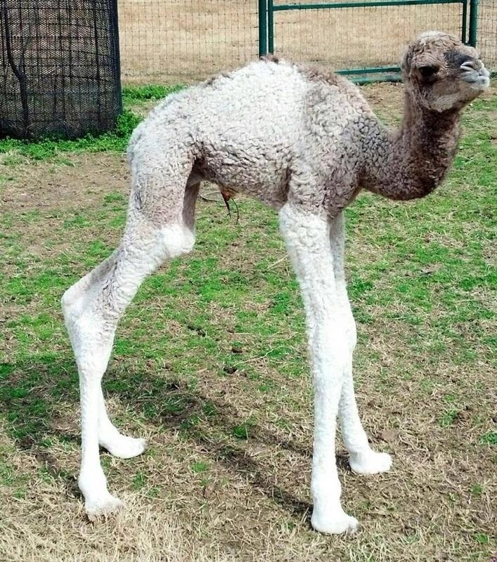 Legs For Days One Day Old Baby Camel