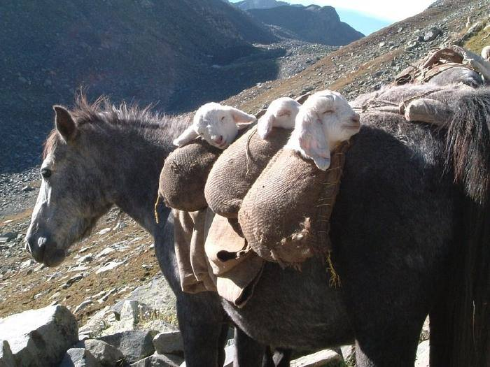 horse carrying sheep