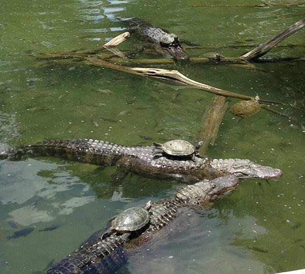 turtles on gators