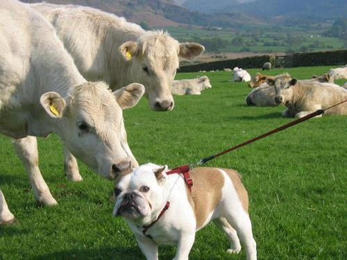 cow licking bulldog