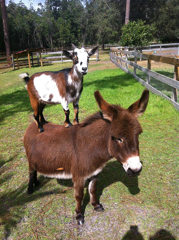 Goat On Top Of Donkey