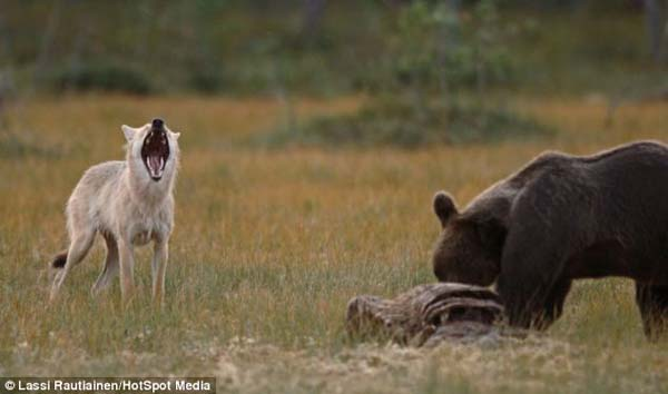 bear wolf friends