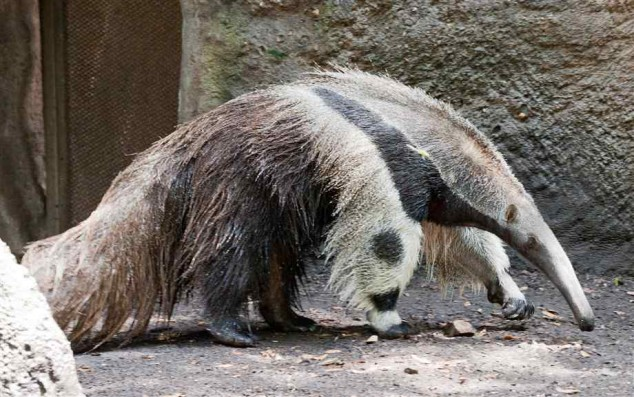 giant anteater panda
