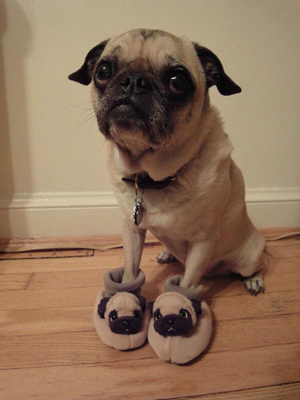 pug in pug slippers
