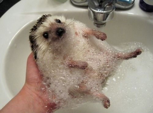 bath time hedgehog