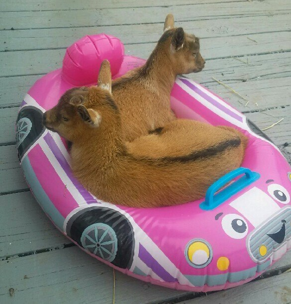 goats in float