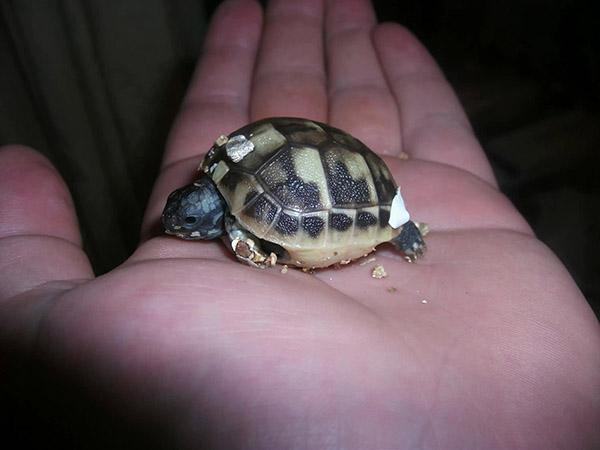 2 hour turtle