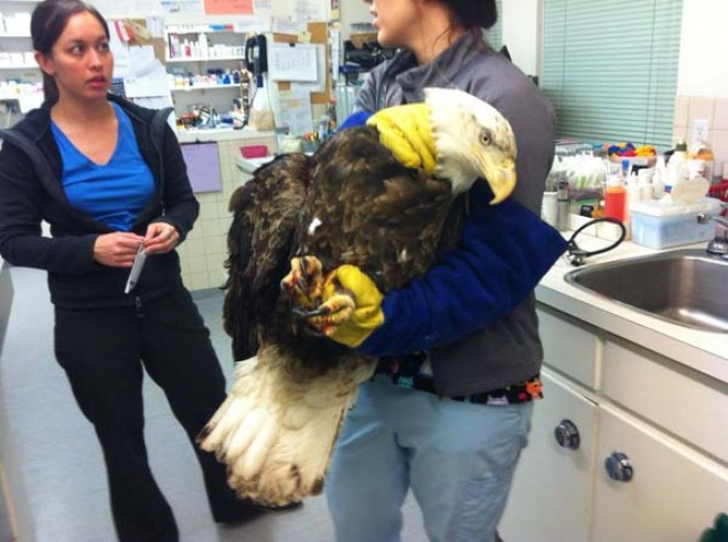 these emergency vets never expected a massive bald eagle to show up