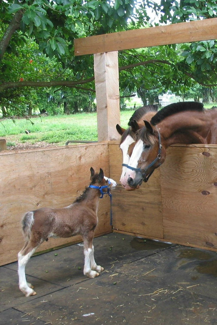 baby horse Clydesdale