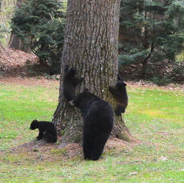bears learning to climb with mom