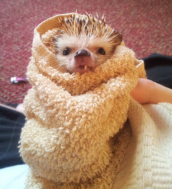 one toothed hedgehog