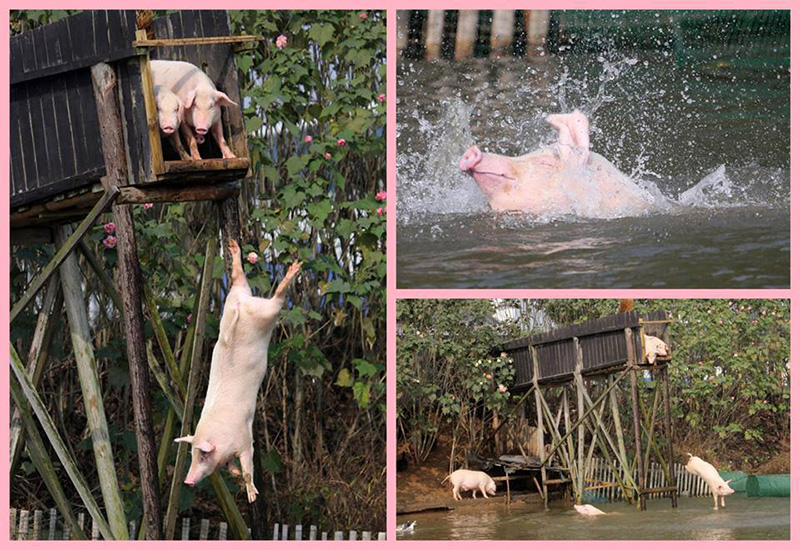 pigs like to party