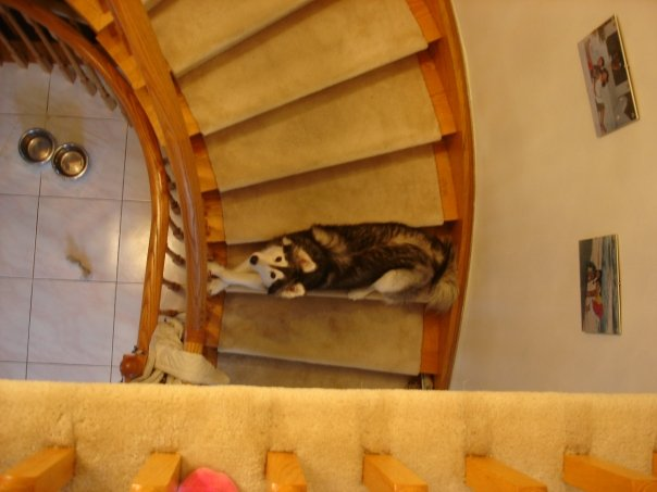 Husky thinks shes a cat