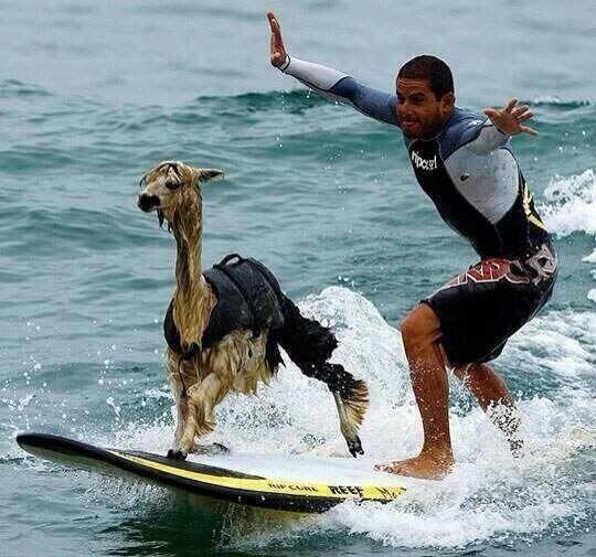 alpaca surfing