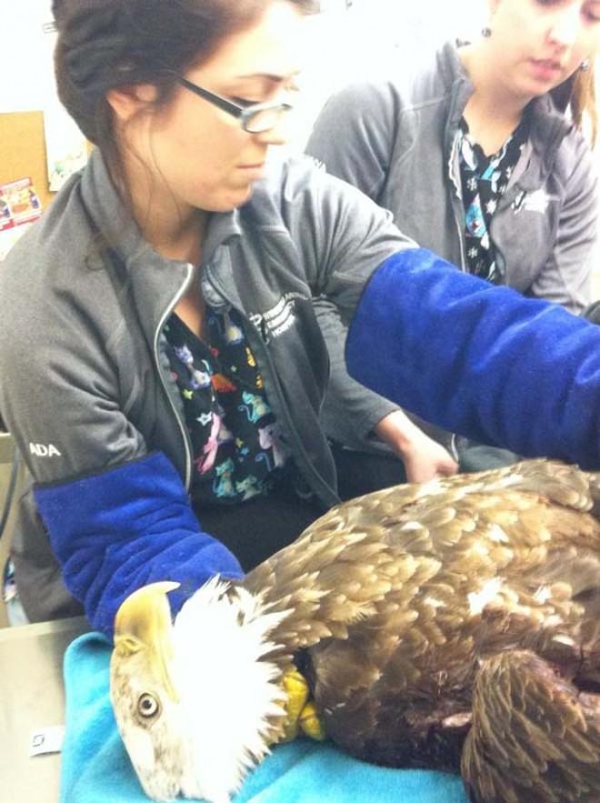 bald eagle rescue at vet