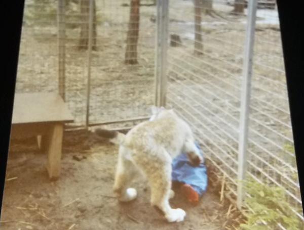 kid lynx cage