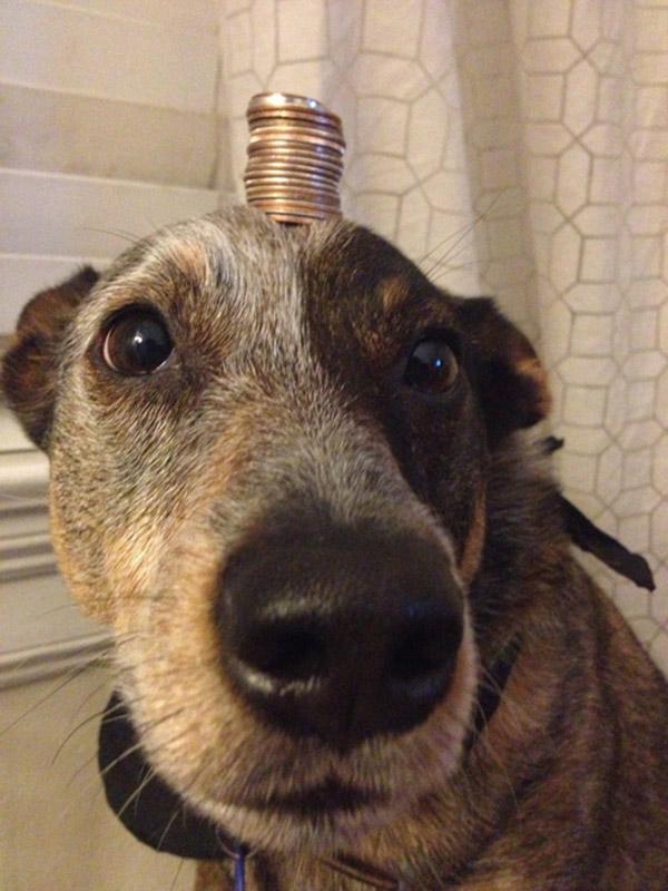 dog balances anything on head