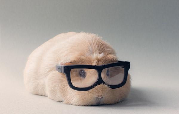 booboo guinea pig