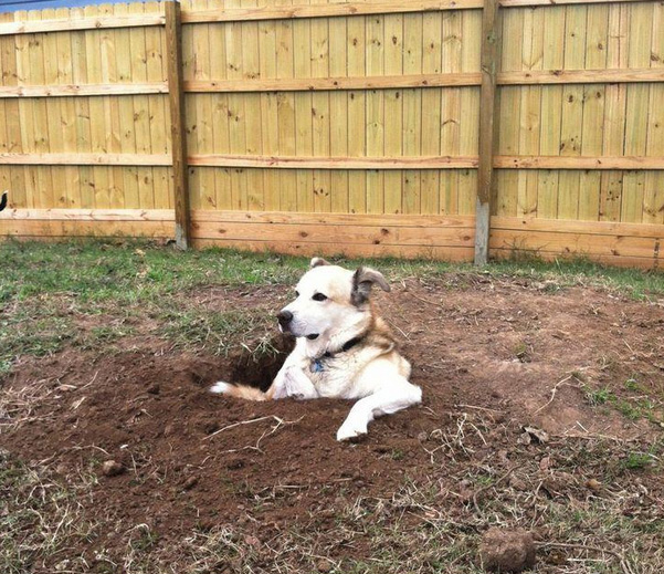 dog digs hole to sit in it