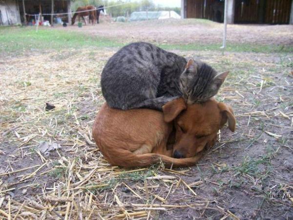 cat sleeps on dog