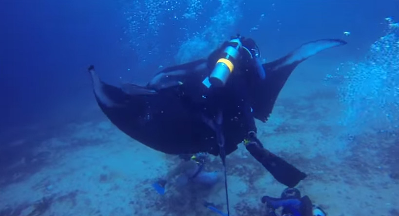 divers manta ray rescue