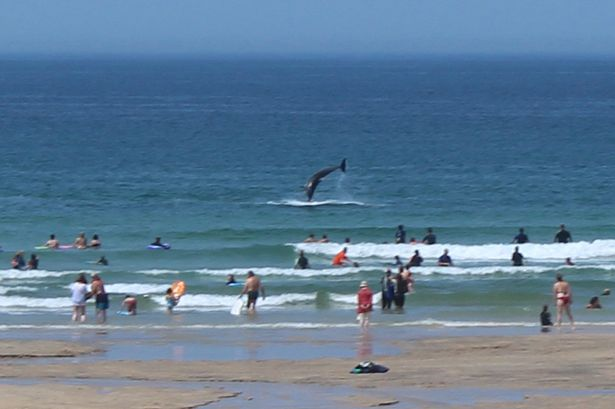 wild dolphins put on a show for beachgoers