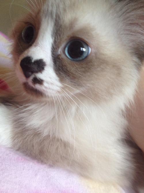 cat heart nose