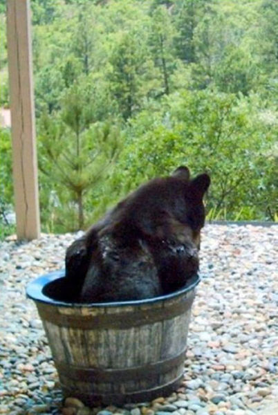 bear in rain barrel