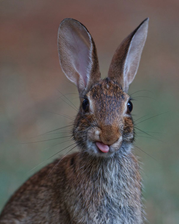 bunny rabbits stick out tongues