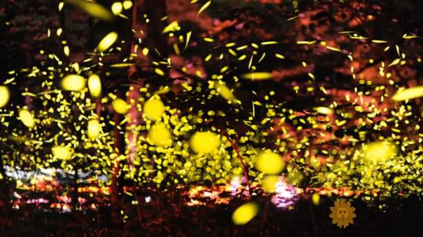 firefly light show Tennessee