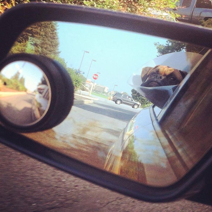 cone of shame dog head out window in car